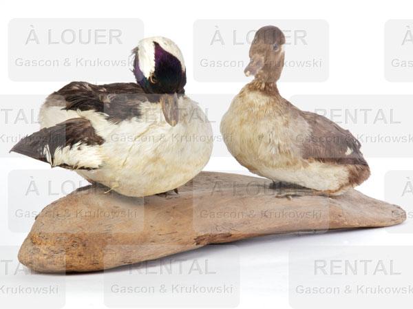 Canards naturalisés
