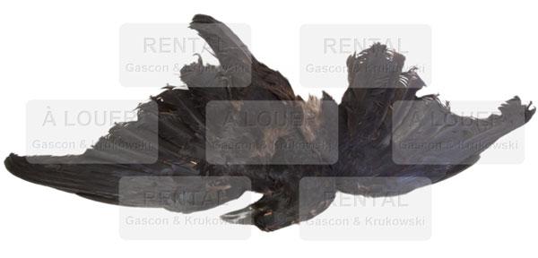 Corneille naturalisée, oiseau mort